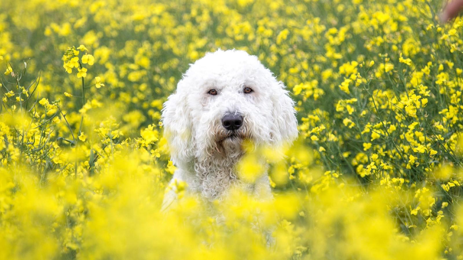 Tendance Instagram dangereuse pour les chiens, chien dans un champ de colza