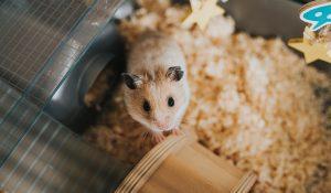 Gros plan sur un hamster dans une cage.