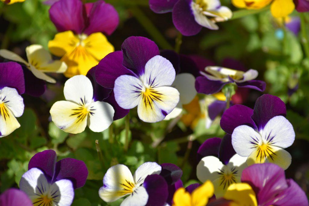 Purple, white and yellow violas growing