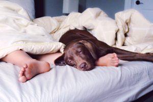 Chien dormant sur le lit
