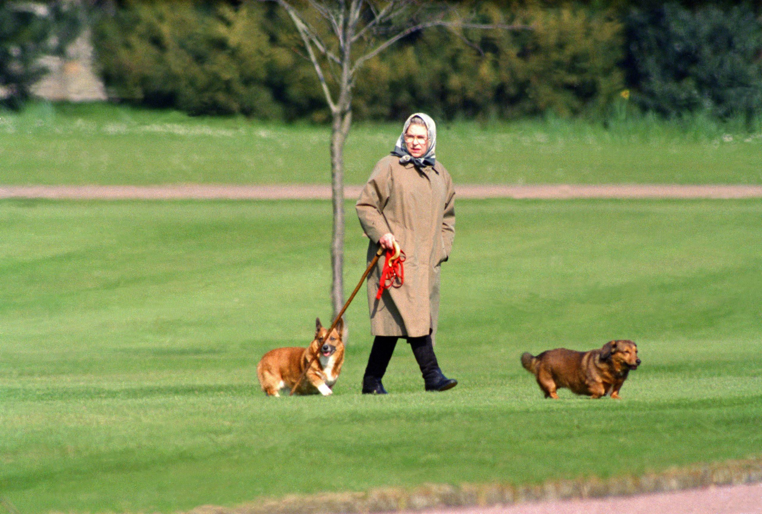 Les corgis de la Reine lors d'une promenade avec le monarque au château de Windsor.