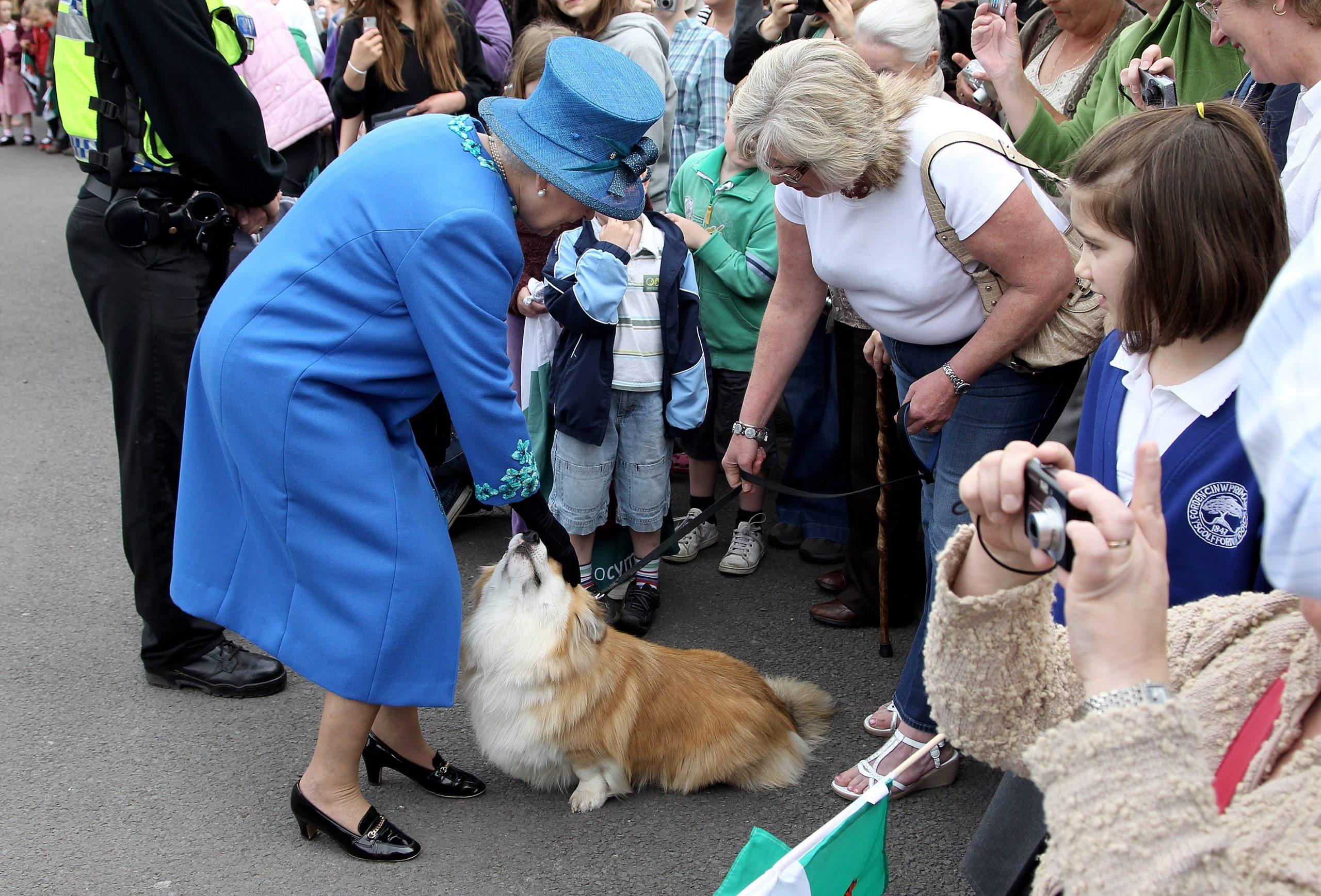 La Reine caresse un corgi lors d'une visite royale au Pays de Galles.