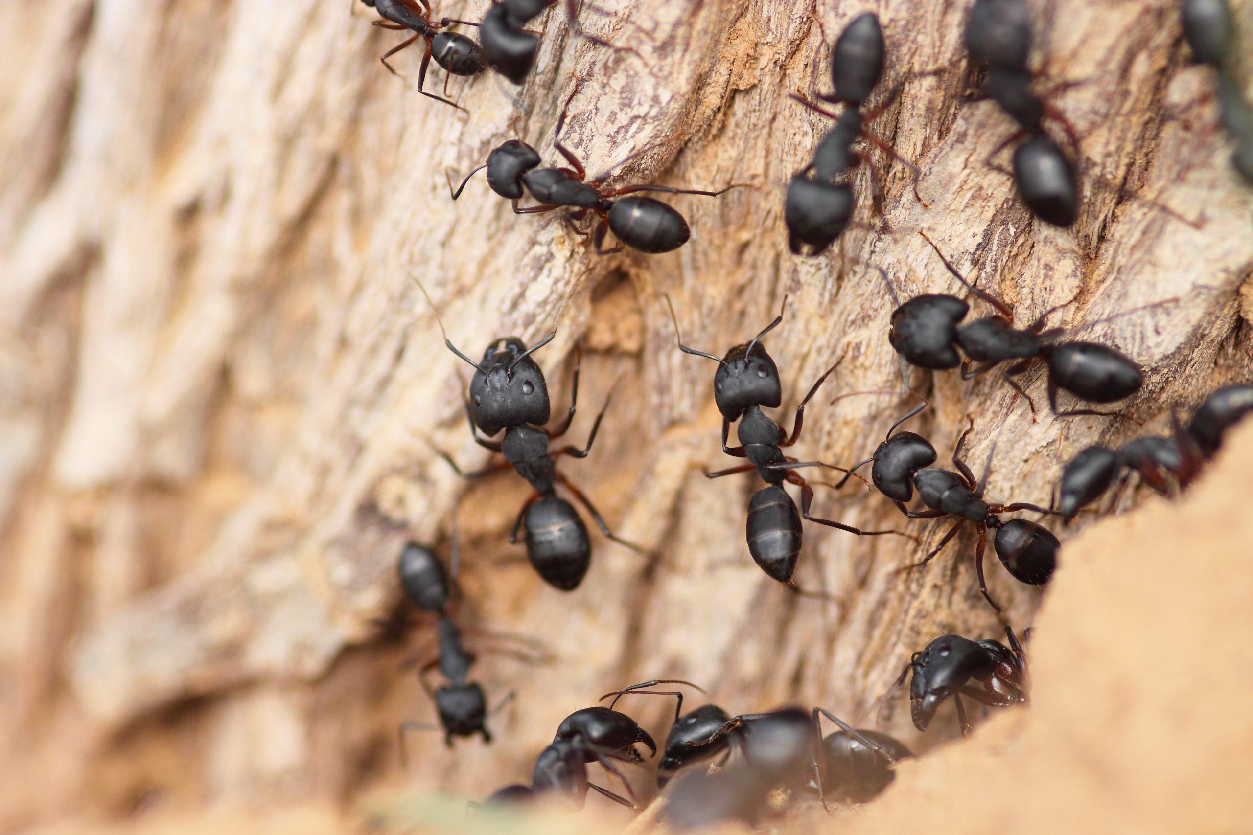 Gros plan sur des fourmis noires