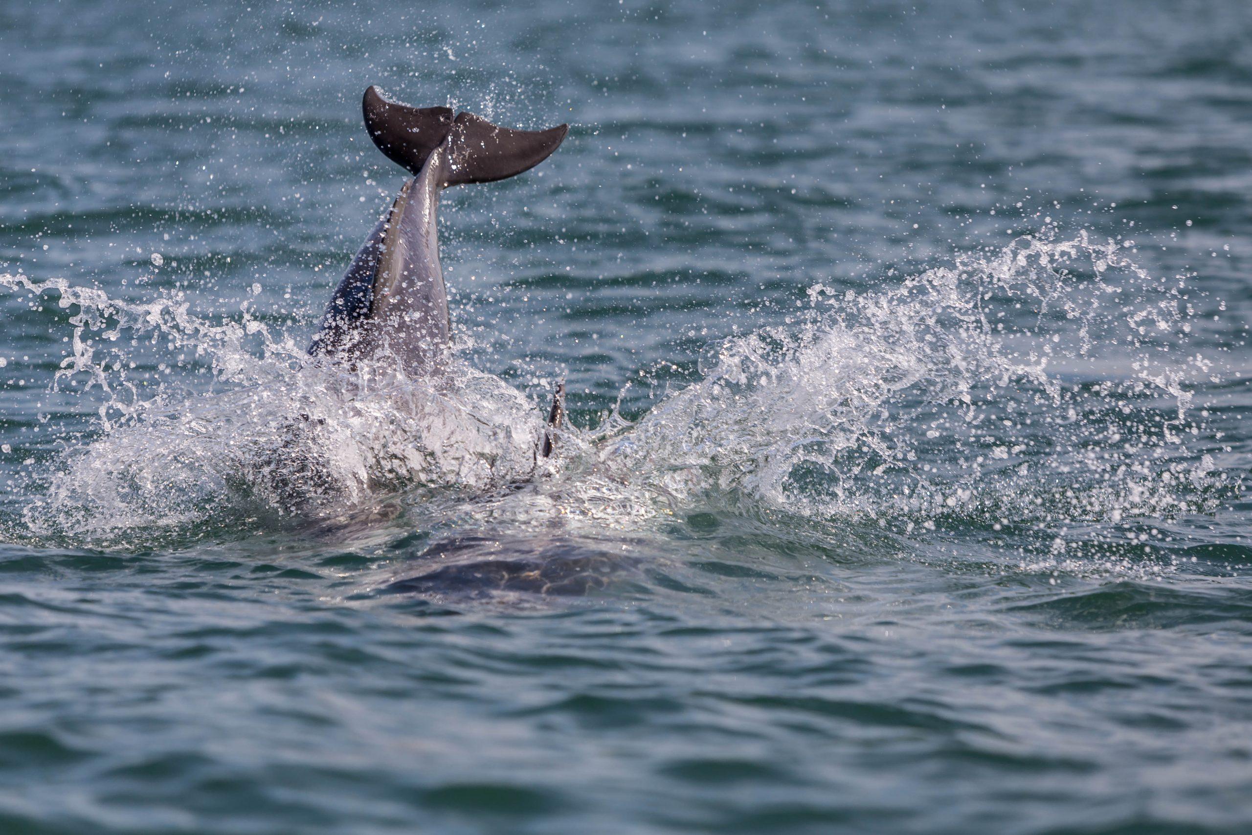 Un dauphin repéré dans la baie de Cardigan, au Pays de Galles, l'une des meilleures sorties en famille au Pays de Galles.